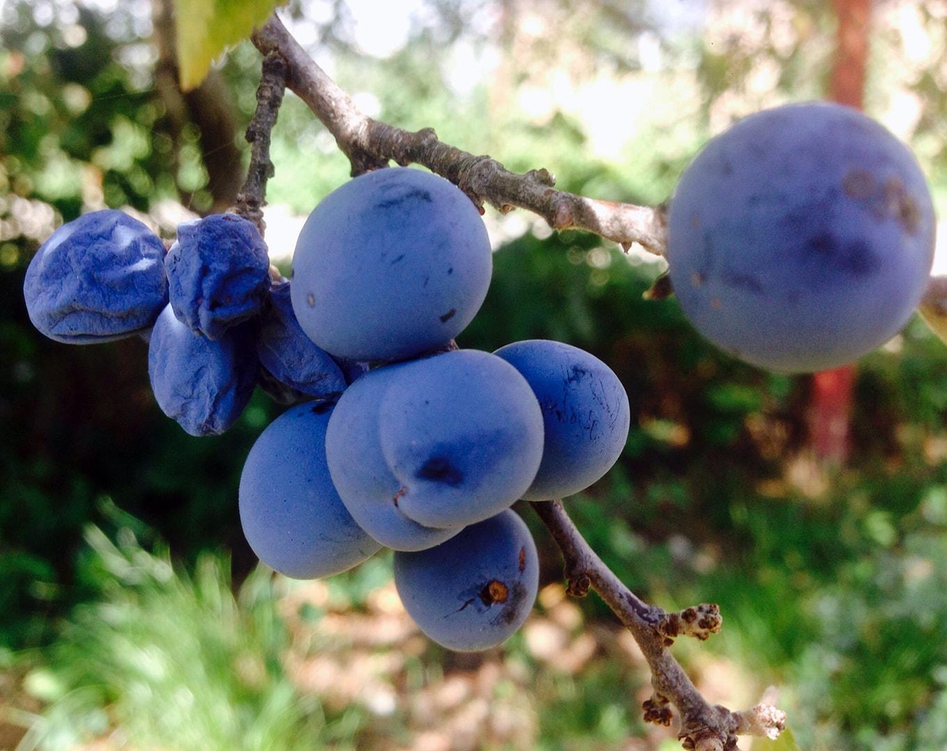 Слива во всевозможных проявлениях:  - терновая ягода (слива колючая) – «донской тёрен»; - чернослив; - пастила; - сливовый джем.