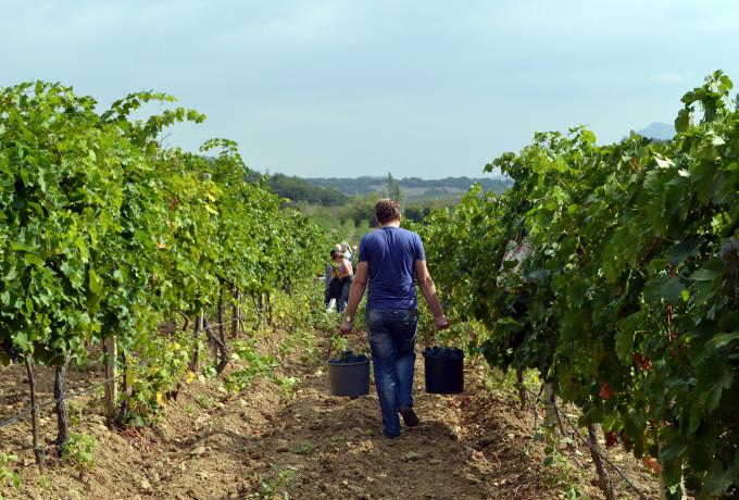 Все собиратели собраны, айда давить виноград!