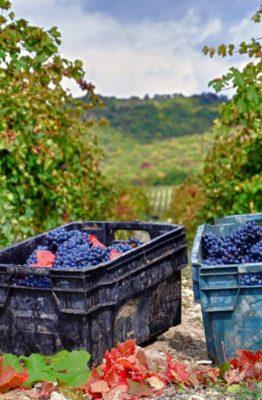 Виноградники Абрау-Дюрсо - Фото Вячеслава Ярового