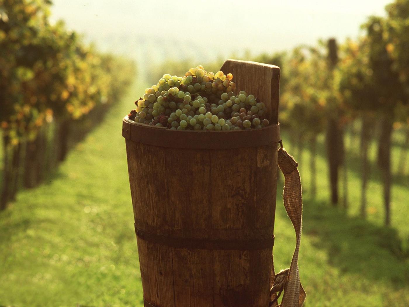 Виноградник в Токае
