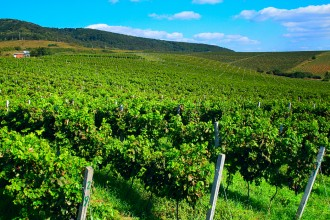 Виноградники хозяйства Айсберг