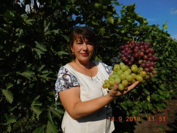 Урожай столового винограда в фермерском хозяйстве Салминых под Самарой