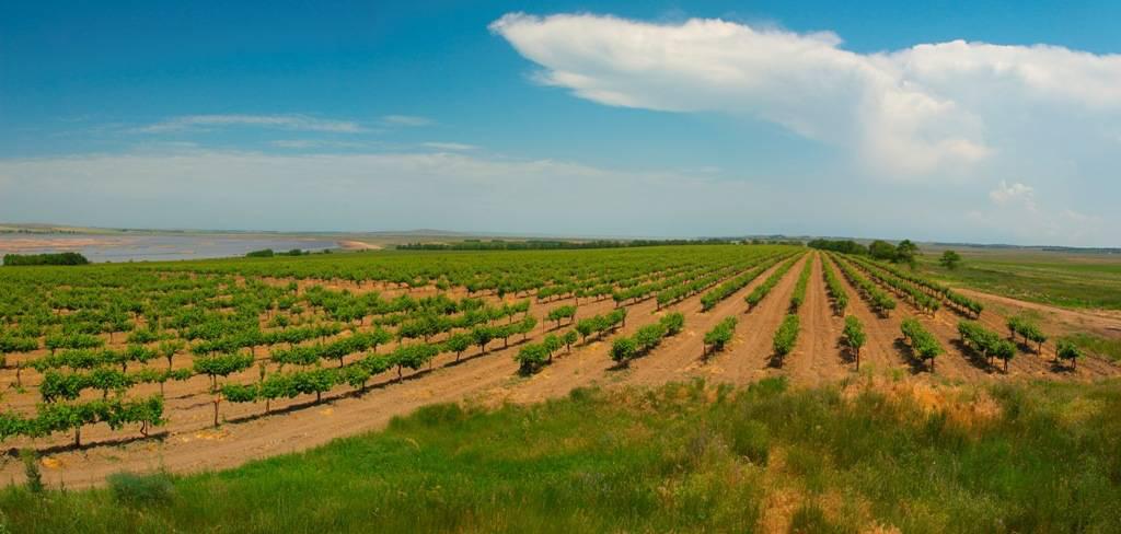 Виноградники Фанагории