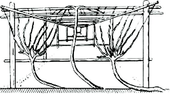 Астраханская галлерея - особый тип форирования куста