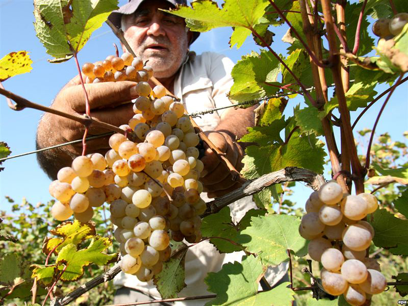Нынешнее возрождение виноградарства в объединении Астраханская сады