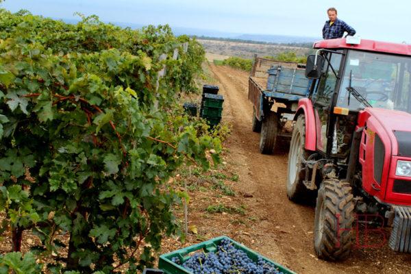 Ручная уборка винограда - залог качества