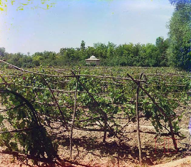 Виноградник в Муграбском имении Байрам-Али. Фото Прокудина-Горского 1911