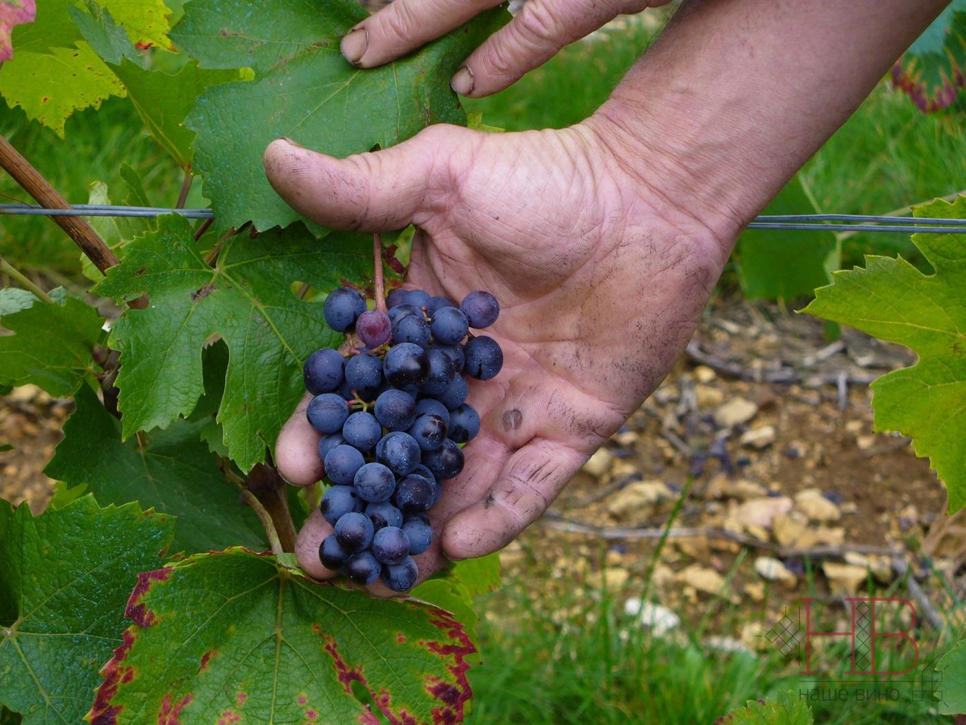 Рис. 1 Маленькая гроздь технического винограда