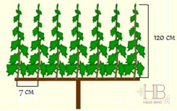 Рис. 2 Пример хорошо сформированной лозы для получения высококачественного винограда