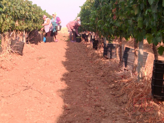Сбор винограда под Анапой, август 2014