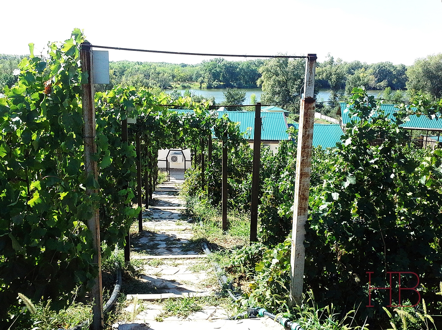 Виноградник Зимовца на Ахтубе