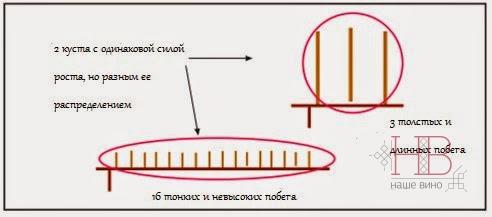 Рис. 3. Длина побегов и диаметр побегов куста с одной и той же силой роста, но разным ее распределением (Perez, 2007)