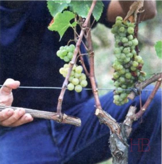 Рис. 1. Техника двойного созревания винограда. Часть двухлетней лозы отрезается от куста. Справа гроздь подвяленная, слева – обычная.  Источник: журнал La Vigne, 2012, № 246