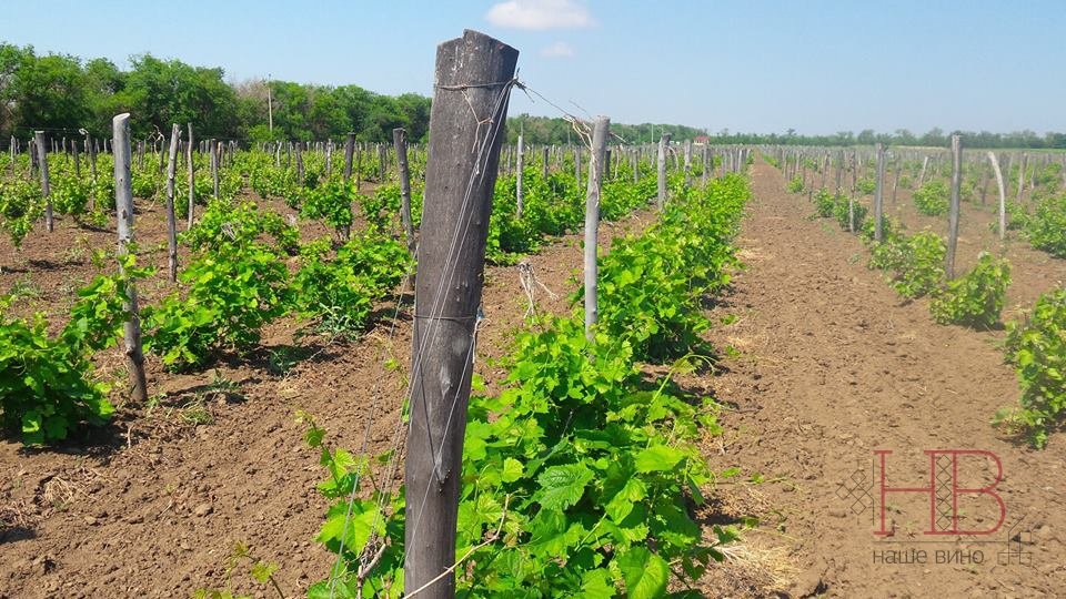 Многие виноградники Дона перезимовали хорошо. Фото Сергея Клейменова