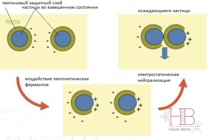 Рис. 1. Механизм работы пектолитических ферментов в процессе осветления сусла. (Andrea Versari, 2012)
