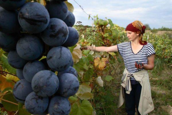 Виноград теперь можно купить в пределах одной географической зоны