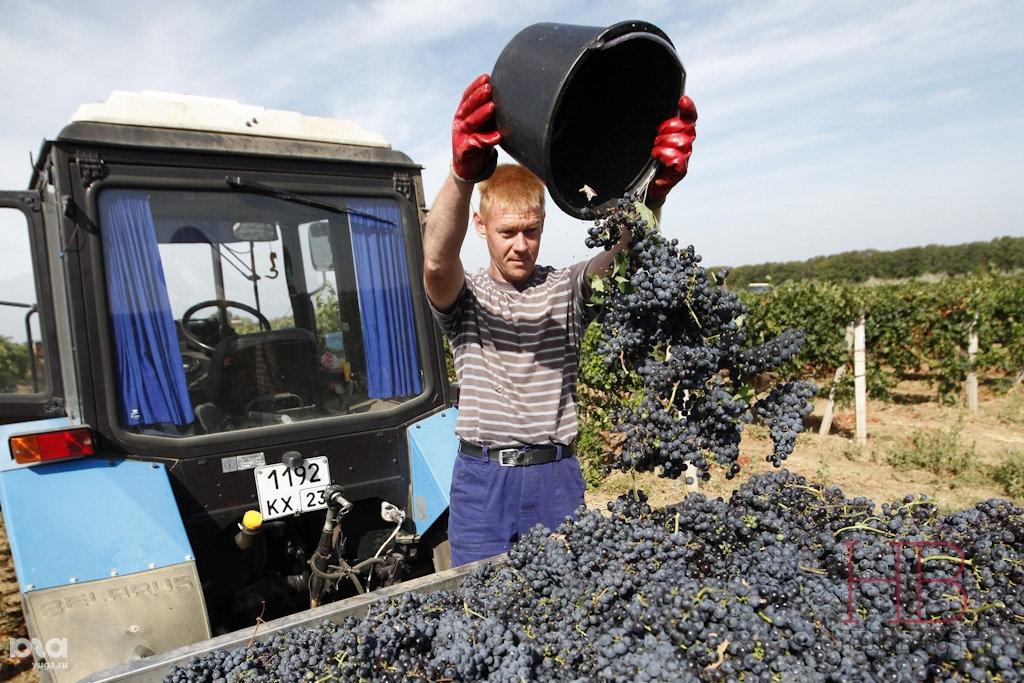 Сбор винограда на Кубани