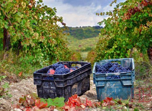 «Абрау-Дюрсо» в 2019 году заложит меньше виноградников из-за дефицита саженцев